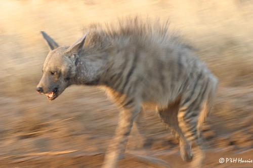 Hyenas look like dogs that